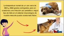 Cuales son los sintomas de fiebre en perros