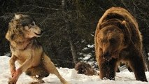 Grizzly Bears vs Wolves / Bear Fights Wolf [Animal Nature Wildlife Documentary Full]