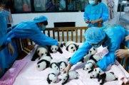 Panda Bakıcıları Yıllık 95 Bin Lira Kazanıyor
