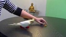 Nymphensittich Clickertraining Tutorial - Trick: Spielsachen nach Farbe sortieren