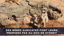 Des bébés suricates font leurs premiers pas au zoo de Sidney