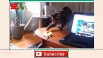 DEAR KITTEN funny cats vs banana compilation  Crazy kittens - Most funny kittens and cats  - Fuuny cats video - Meow