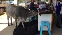 Une vache squatte le coussin du chien