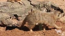 Premiers pas de bébés suricates