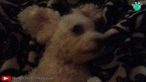 Funny dog, funny animals, perro gracioso, cachorro engraçado. Cute puppy  / TheirOwnChannel