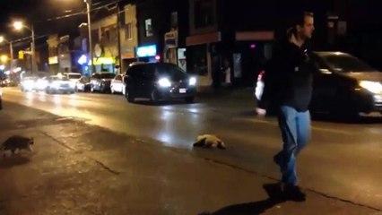 tearful raccoon tries to wake up its dead friend