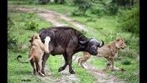 Male Lion's Hunt  Lions attack and Kill Buffalo Cow & Newborn Ca