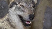 """D!CI TV : """"Sur la piste du loup"""", une randonnée raquette et un véritable loup naturalisé"""