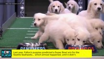 Fallon Had Puppies Predict Super Bowl 50