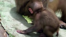Baby Monkey swiming.  泳ぐ赤ちゃんザル(釧路動物園)