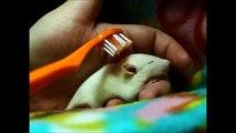 Un bébé rat se fait brosser