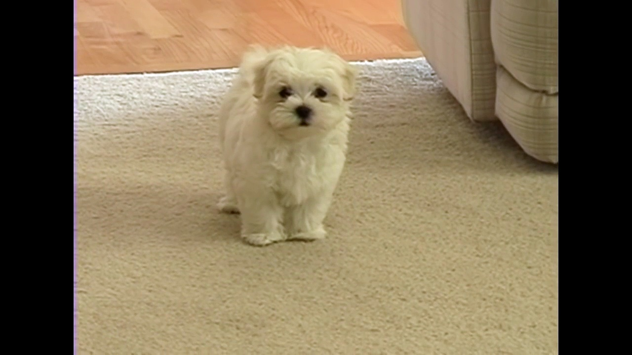 Cute tiny Maltese puppy barking at funny toy camera small dog puppies bark playing