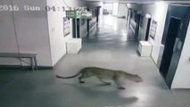 Leopard enters Indian school, injuring four during capture – video