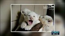 Zoo de La Flèche : Naissance de trois bébés lions blancs
