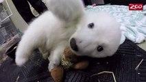 Le bébé ours polaire Nora, baptisé par les internaute. Animal trop mignon