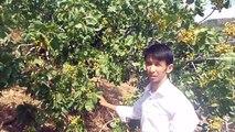 Antep Fıstığı Ağacında Kuruma Sorunu Sona Erdi Tire Küçükburun Köyü Mehmet Küçük