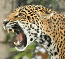 Top Ten BIGGEST Cats, big cats, wild cats, large cat breeds, largest cat, Siberian Tiger, Lion, Snow Leopard, Cheetah, Clouded leopard, Cougar, Jaguar, Caracal, Eurasian Lynx