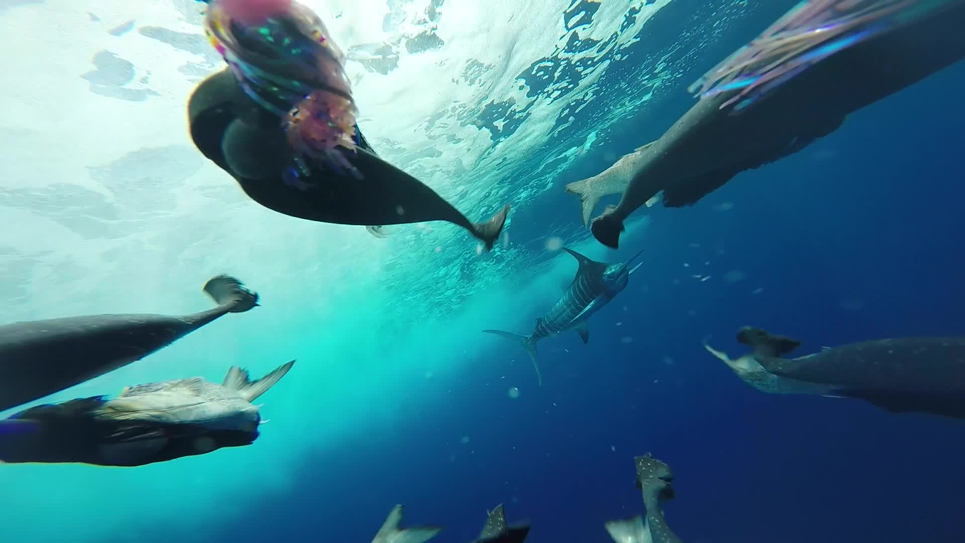 Blue Marlin Close Encounter