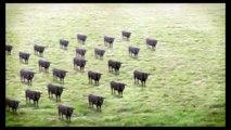 (YTPMV) Cows Cows Cows Scan