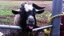 Des animaux déconneurs - compilation de chiens, chats, chèvres et autre animaux hilarants