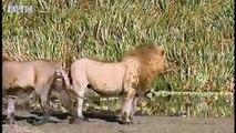 2 льва против стаи гиен