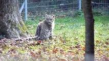 Panthère des neiges (Panthera uncia) Parc des félins