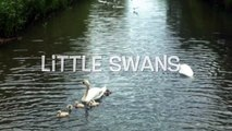 Baby Swans in Swans family