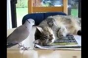 Ha Ha Ha Cute Bird Annoying Cat-Top Funny Videos-Top Prank Videos-Top Vines Videos-Viral Video-Funny Fails