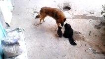 Une chatte présente ses petits à un chien... c'est mignons
