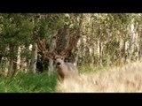Bowhunting a Mule Deer