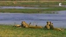 Les prédateurs de la savane une lutte pour la survie documentaire animaux sauvages
