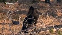 National geographic - Black Wolf's Secret Life - BBC wildlife animal documentary