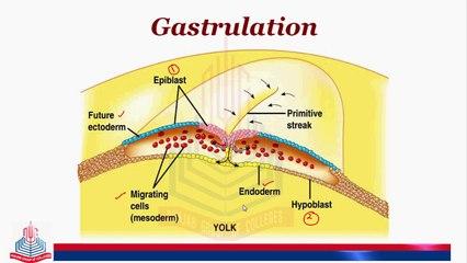 Development of Chick ( Gastrulation,Notochord,Mesodermal& Hensen's Node Formation )  part 2