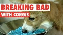 Breaking Bad: Corgis Parody || Say My Name