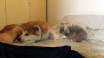 These Cuddling Akita Inu and Fluffy Bunny Are Just Too Cute