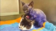 Smurf, le chaton violet qui servait de jouet pour chien reprend des couleurs