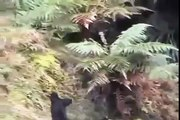 Pitbull hunting for wild boar.boar attacked Pitbull and hunter -