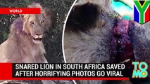 Dying lion rescued in Kruger National Park after photos posted to Facebook - TomoNews