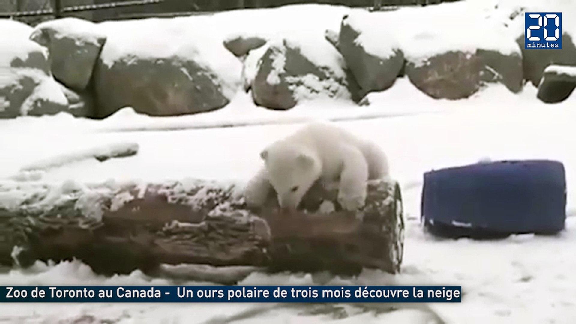 Un ourson polaire découvre la neige pour la première fois