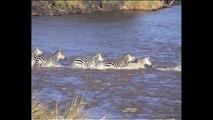 Crocodile Attacks Zebra - Crocodile Attacks Elephant - National Geographic Animals Documen