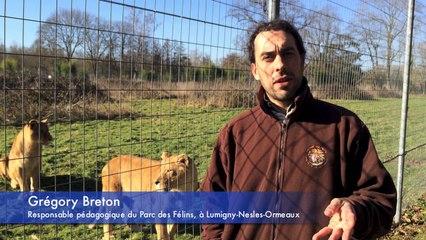 Parc des Félins - le lionceau Bagani et les trois petits tigres, Lyuba, Neva et Sayan