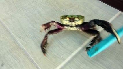 Le crabe Hitler, nouvelle folie d'Internet