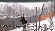 Da Mao le panda s'amuse dans la neige