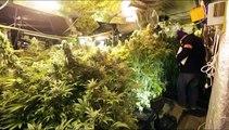 4.000 plants de cannabis découverts près de Lille