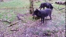 Sainte Croix Février 2016 Loups noirs