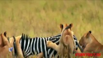 Lion Vs Zebra Fight I Real Fight Of Zebra Vs Lions I Animals Attack ✔