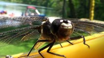 Up Close and Personal with Dragonflies