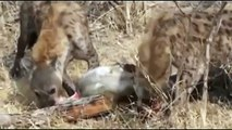 Leopard vs Hyenas REAL FIGHT - Leopard ATTACK Hyenas 2016 Part 2