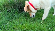 Someone Poisoned A Pit Bull By Sewing Antifreeze And Rat Poison Into Meat