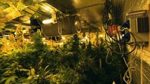 Une usine à cannabis découverte près de Lille